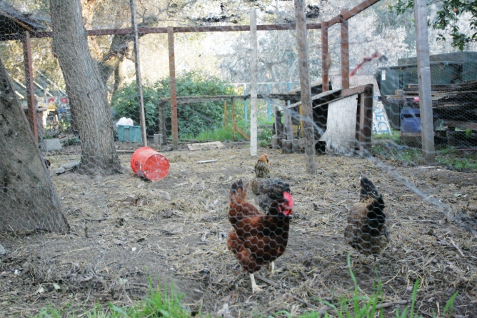 Tour de Cluck to celebrate chickens, bikes, local artists