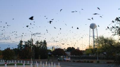 Crows flock to campus