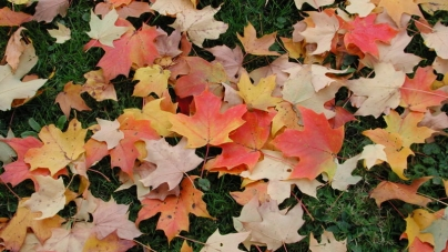 Decreasing chlorophyll causes fall colors