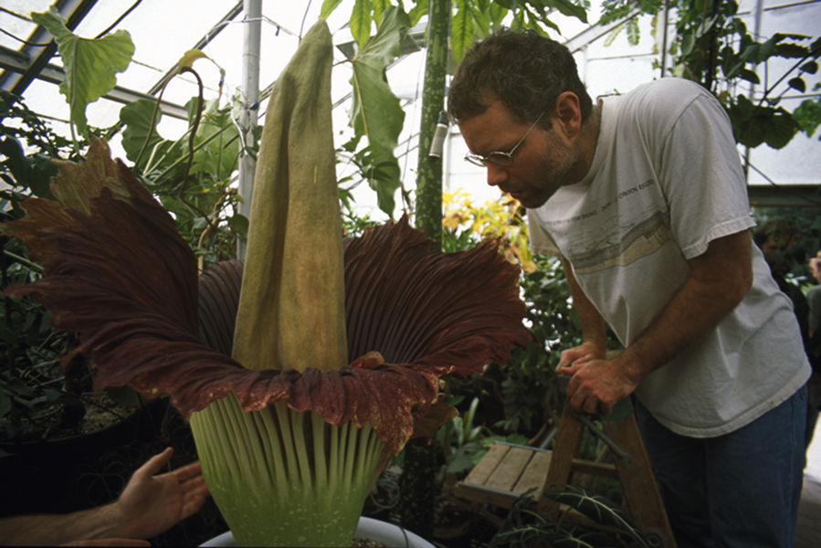 The Coming Of The Corpse Flower The Aggie