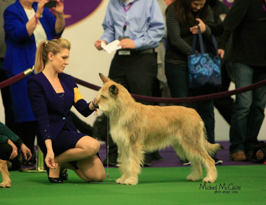 Davis dog wags across stage at the annual New York dog show