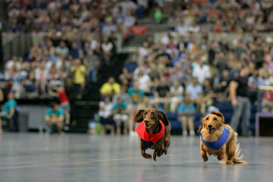 Dachshunds race each other during the annual Doxie Derby which takes place during Picnic Day. (JAY GELVEZON / AGGIE)