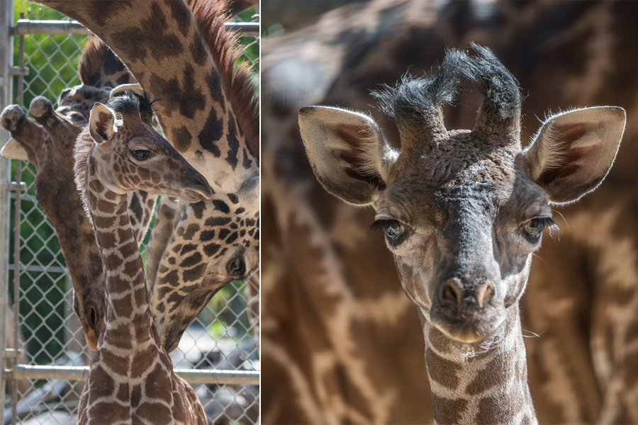 Sacramento Zoo welcomes birth of baby giraffe