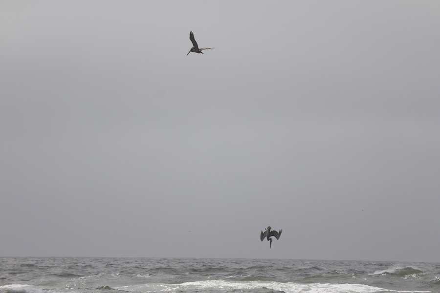 I went to a beach near Golden Gate Park in San Francisco and saw pelicans diving for fish. (NICKI PADAR)