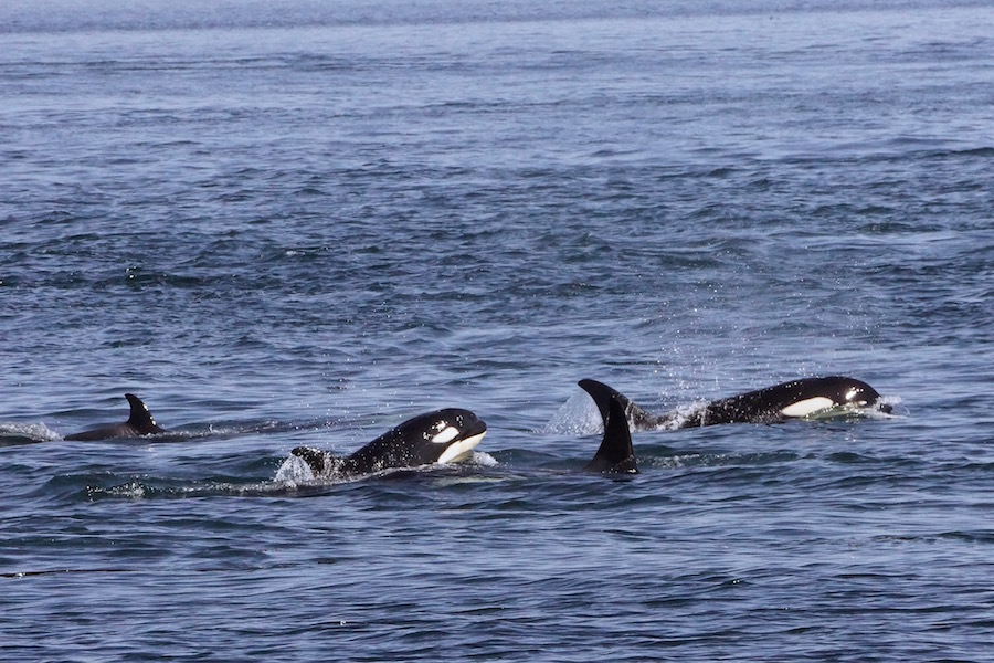 I'm thankful for wildlife! What do you call a pod of musical whales? An orca-stra! (NICKI PADAR)
