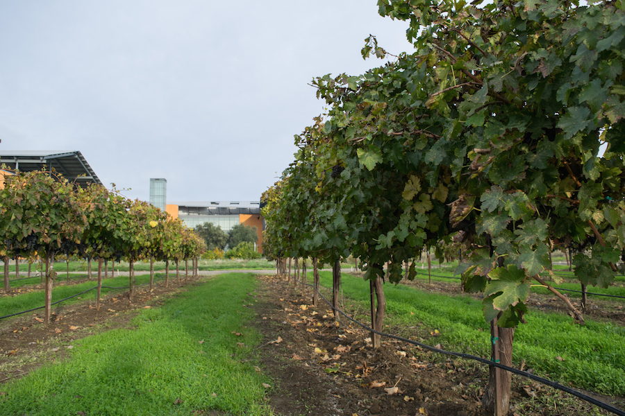 Student vineyard: from class to glass