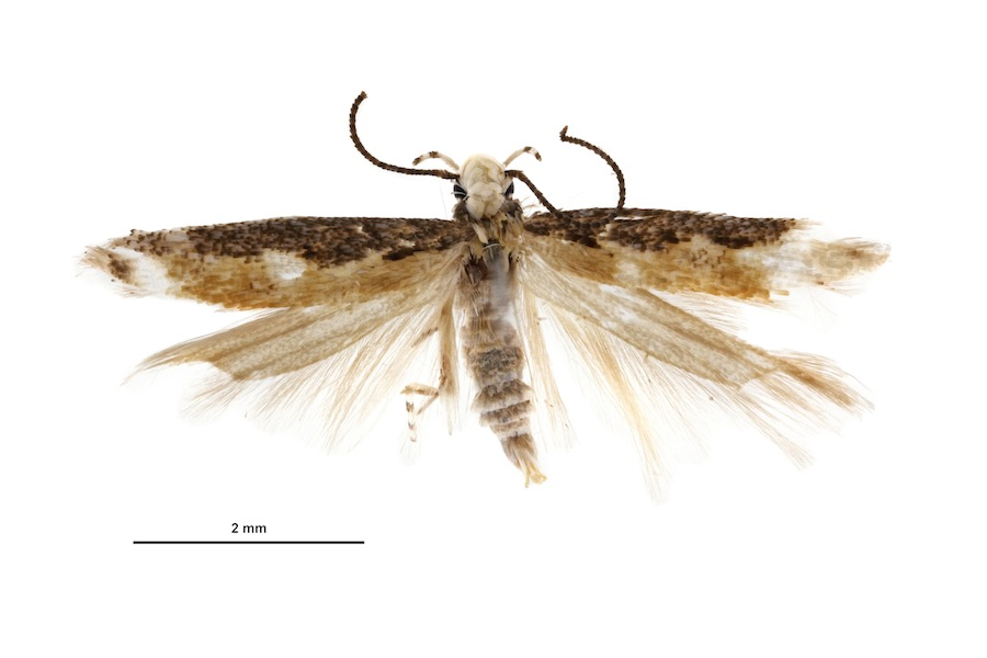 Moth species named after newly elected President