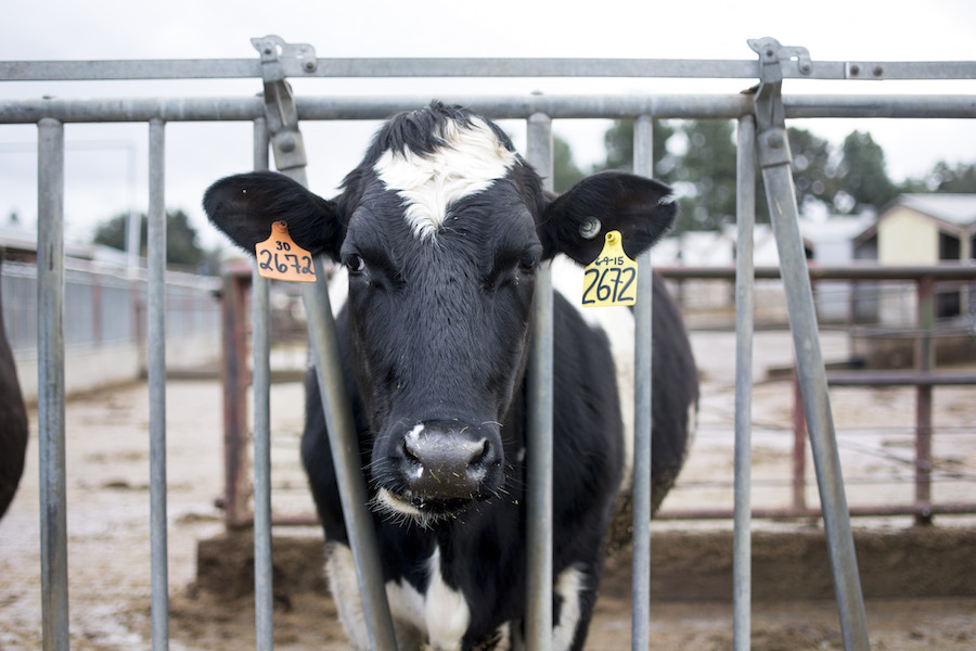 Humor: Edgy cow gets second ear tag after hitting emo phase