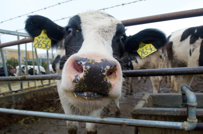 Humor: UC Davis cows to be featured in Animal Planet reality show on cows