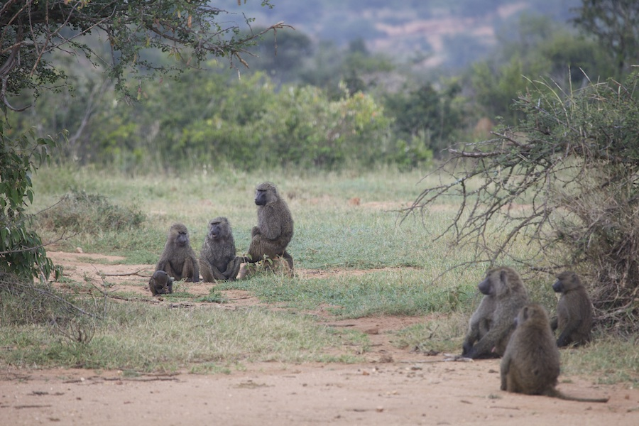 Baboons use clues in their social neighborhoods to organize