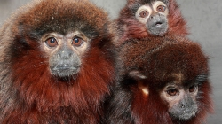 Monogamy in Titi monkeys