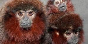Monogamy in Titi monkeys
