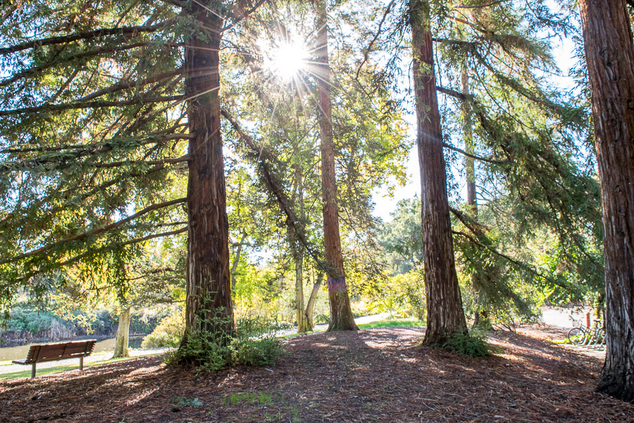 Conserving genetic diversity of ancient, towering California trees