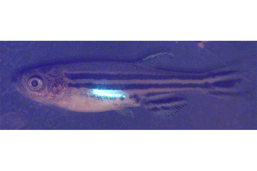 Zebrafish making waves in ovarian cancer research