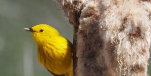 Migratory songbirds, genetics, climate change