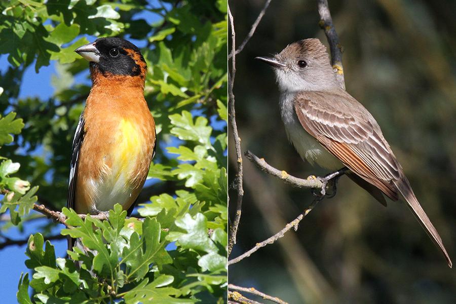 Birds Bounce Back in Putah Creek