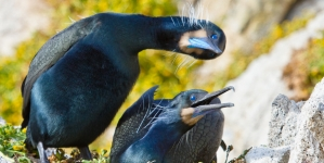 Cormorants as Climate Change Model