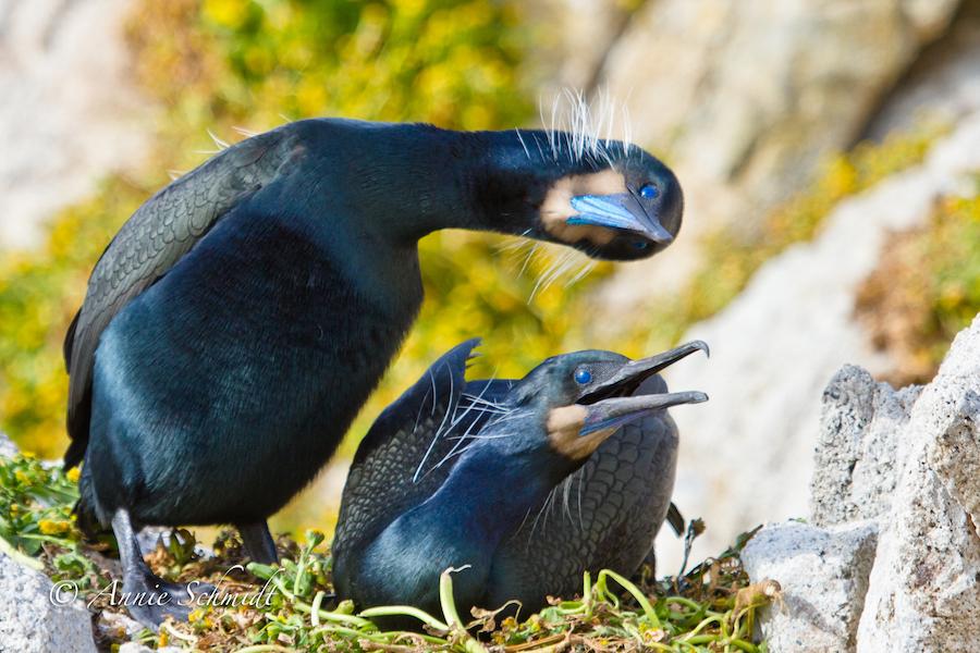 Cormorants as Climate Change Model