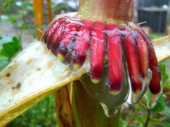 UC Davis researchers discover nitrogen-fixing corn