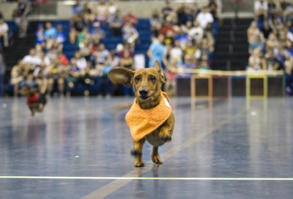 Doxie Derby: Picnic Day tradition with big bark