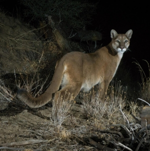 Potential local extinction looms over mountain lions