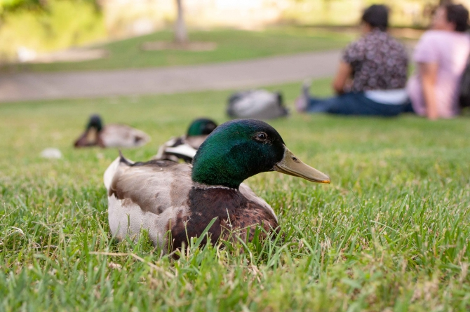 City of Davis is home for over 150 species of birds, among other wildlife