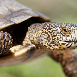 UC Davis alumni conduct groundbreaking study to understand competition between invasive, native turtle species