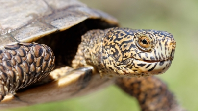 UC Davis alumni conduct groundbreaking study to understand competition between invasive, native turtle species