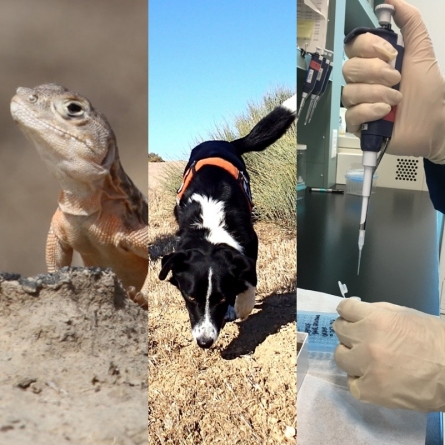 Novel use of detection dogs and genetic analysis for tracking endangered lizards