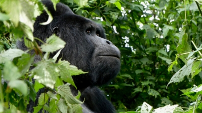 UC Davis works with conservation groups work to conduct mountain gorilla population survey