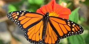 Monarch butterfly wing length affected by migration behavior, according to UC Davis study