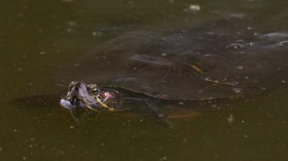UC Davis alumni find high levels of plastic ingestion in Arboretum turtles