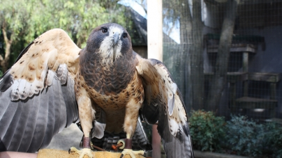 California Raptor Center's operating funds take flight